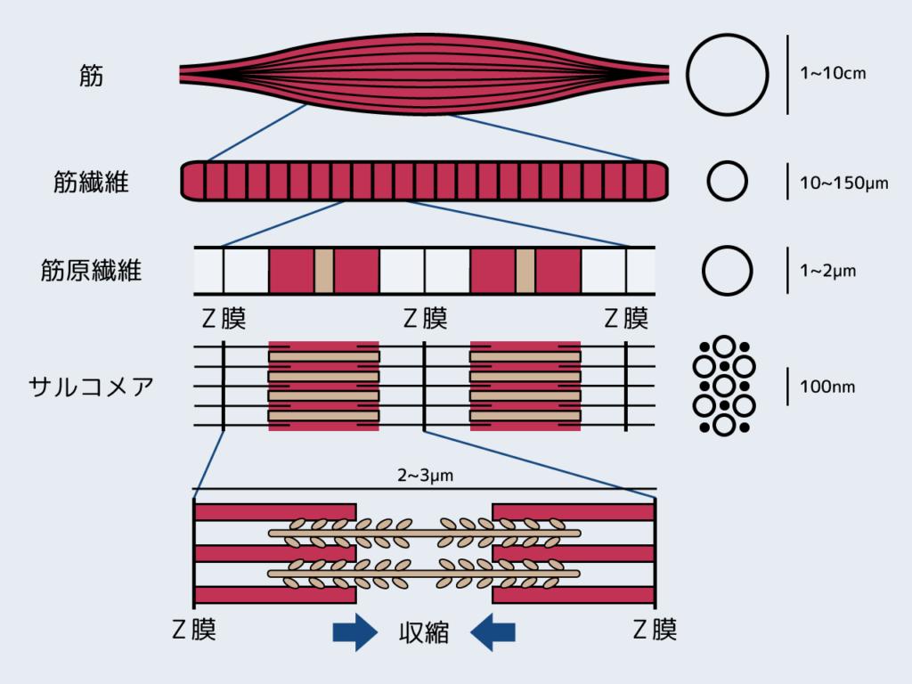表面筋電位(EMG)とは | 技術紹介 | (株)ALTs